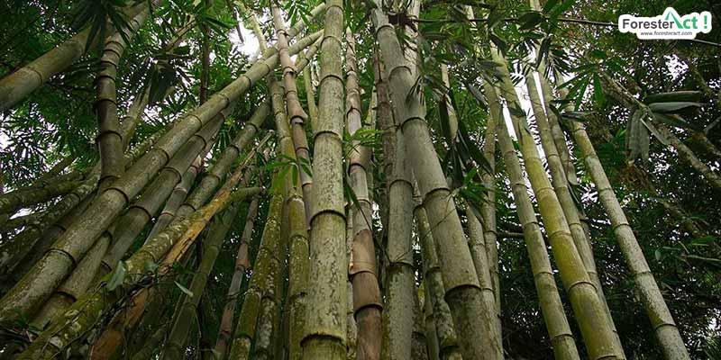 Dendrocalamus asper atau Bambu Betung (instagram.com)