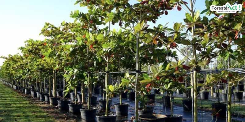 Pohon ketapang (kumparan.com)