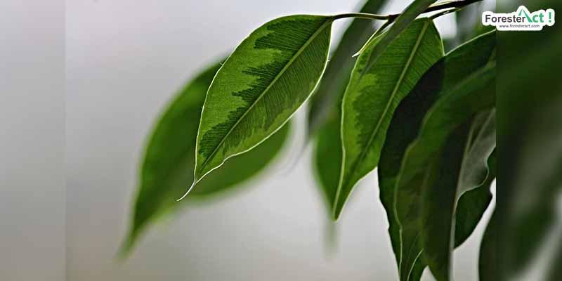 Ficus benjamina (pinterest.com)