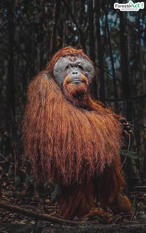 Orangutan Hidup di Gambut (pixabay.com)
