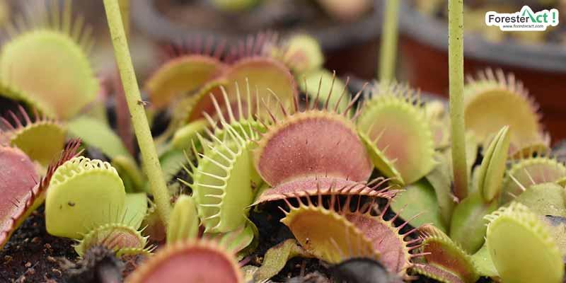Venus flytrap (pixabay.com)