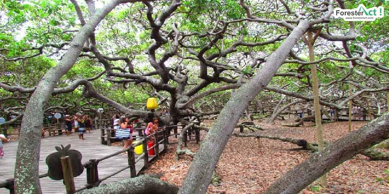 Pirangi Cashew Tree (pinterest.com)