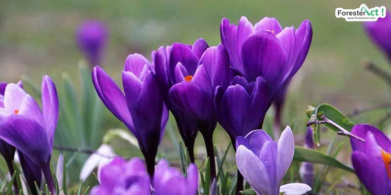 Crocus sativus (pixabay.com)