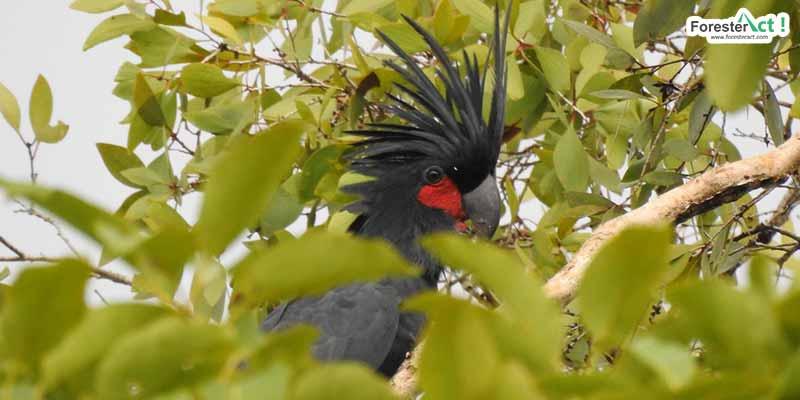 Kakatua Raja/Palm Cockatoo (Probosciger aterrimus) (Diambil oleh Siti Hudaiyah)