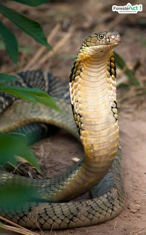 Ophiophagus hannah (pinterest.com)