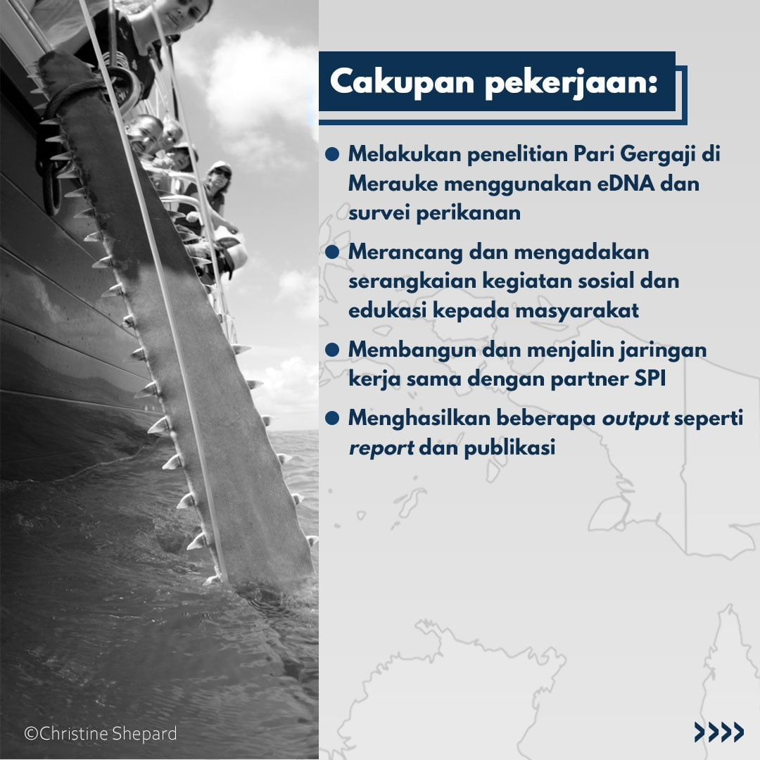Sawfish project Indonesia look for a new member 3