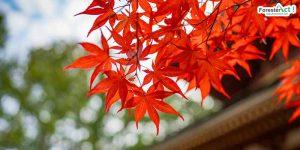 Pohon Maple (pixabay.com)