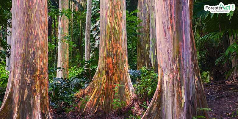 Rainbow Eucalyptus (pixabay.com)