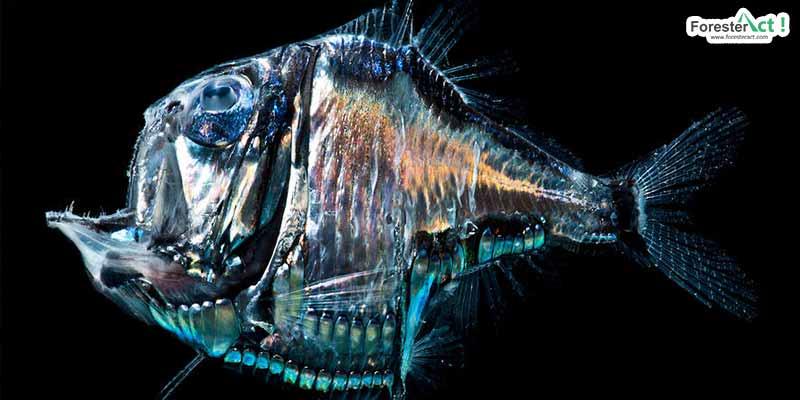 Deep Sea Hatchetfish